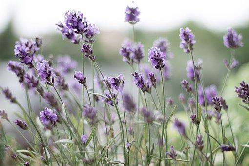 Lavender, Purple, Lavender Flowers