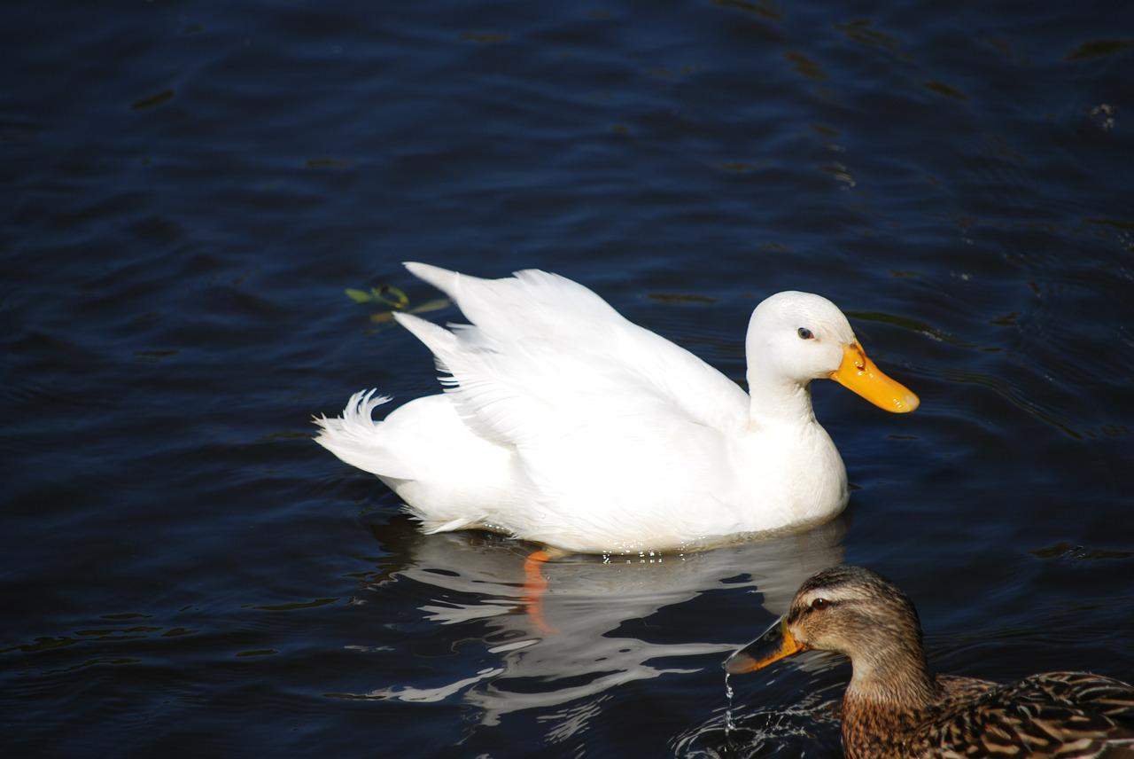 водные птицы фото достоинствами недостатками обладают