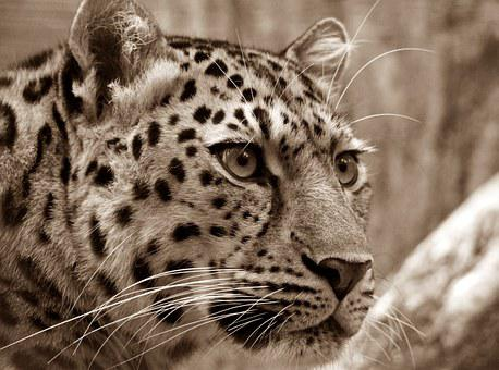Amur, Leopard, Sepia, Close, Cat'S Eyes