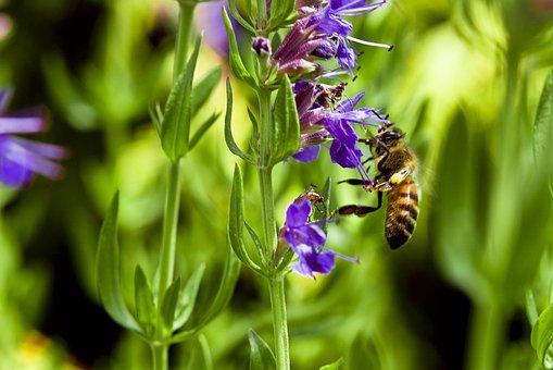 Abeille, Hysope, Fleur, Purple