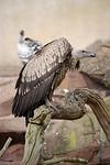vulture, griffon vulture, scavenger