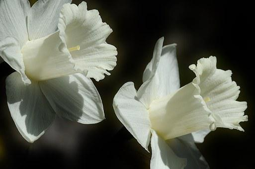 Daffodils images pixabay download free pictures daffodil flower easter lily spring white b mightylinksfo