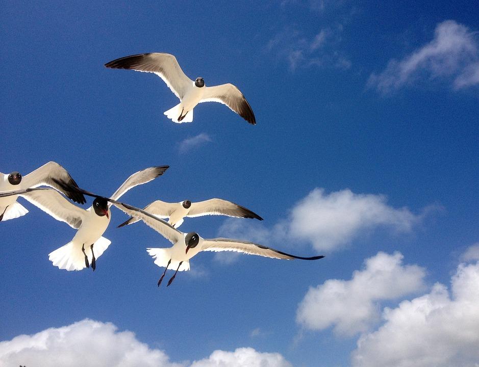 Gratis foto: Fiskmåsar, Frihet, Flyger, Fåglar - Gratis bild på ...