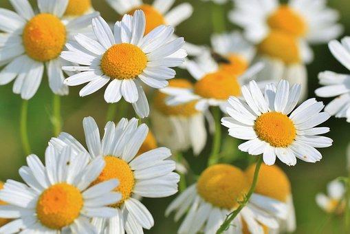 Flowers, Chamomiles, Meadow, Bloom