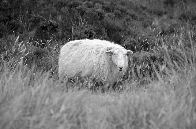 Moutons herbe sur le terrain des photo gratuite sur pixabay - Photos de moutons gratuites ...