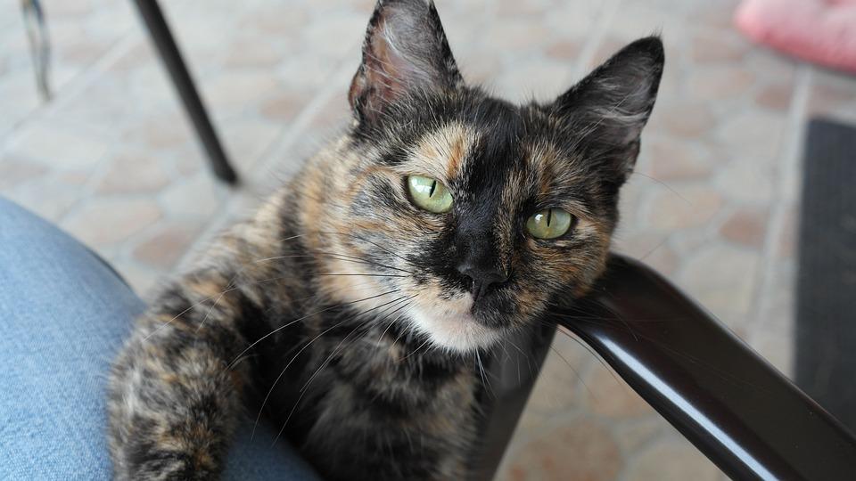 Čierna hlava mačička