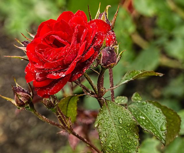 Red Rose Raindrop Flower · Free Photo On Pixabay