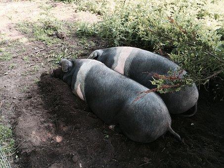 Pig, Saddleback Pigs, Animal, Saddleback