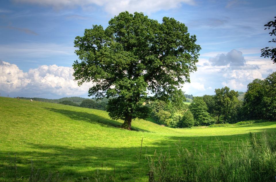Free photo: Tree, Oak, Landscape, View, Field - Free Image on ...