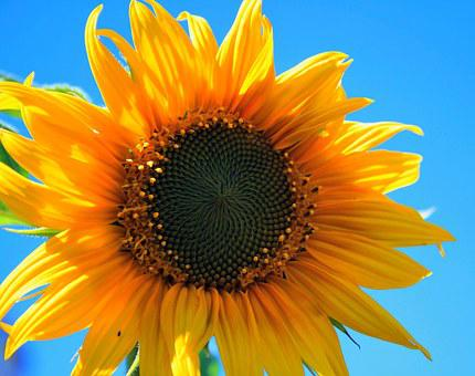 Sunflower images pixabay download free pictures yellow sunflower flower round yellow brigh mightylinksfo