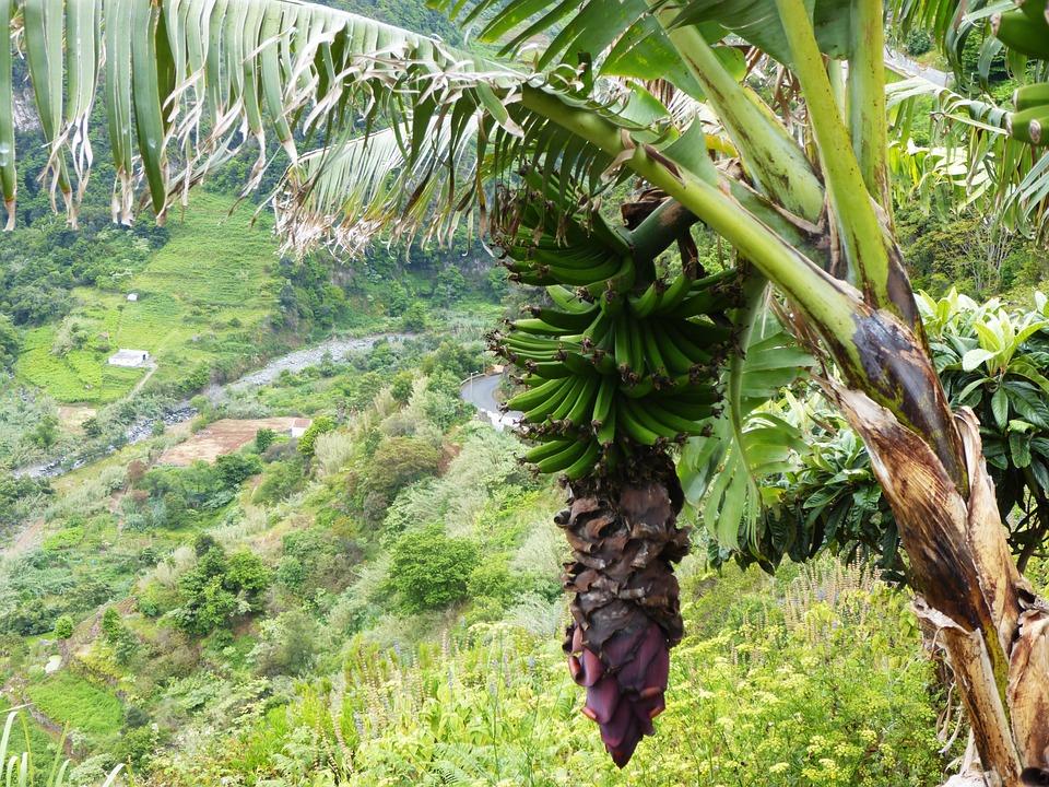 Banane Palmier Fleur Photo Gratuite Sur Pixabay
