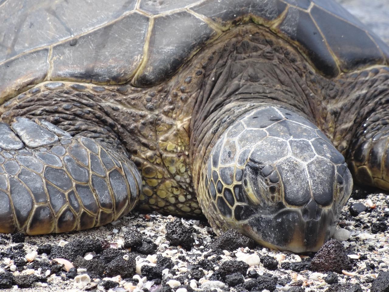 красноухая черепаха в спячке фото товары