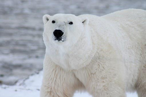 Polar Bear Arctic Wildlife Snow Wild Carni