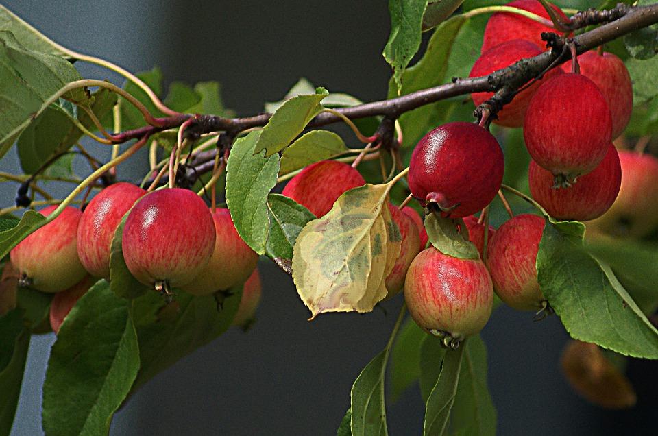 Berühmt Äpfel Paradise Baum Kleine - Kostenloses Foto auf Pixabay &MM_83