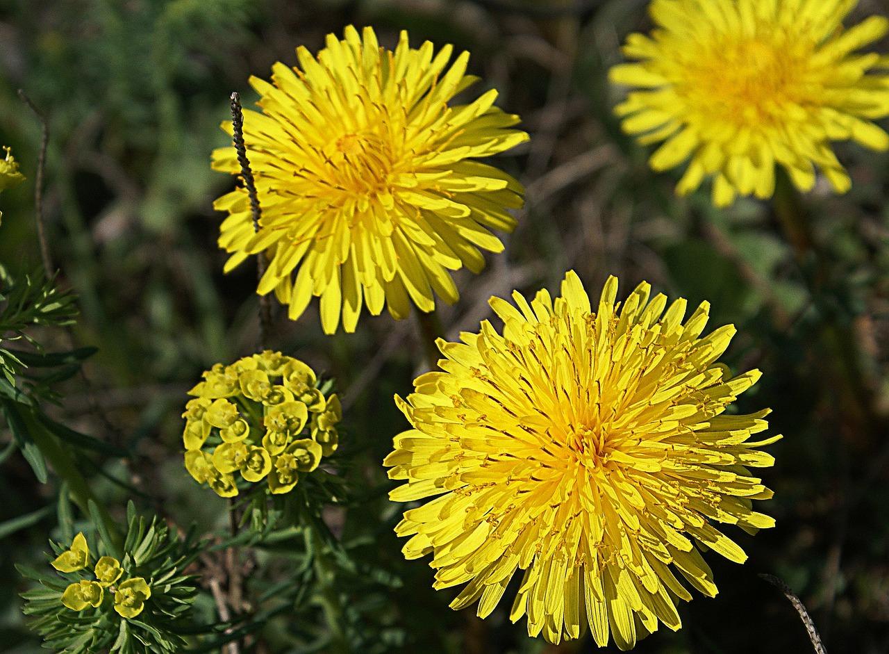 Растение одуванчики лечебные свойства картинки