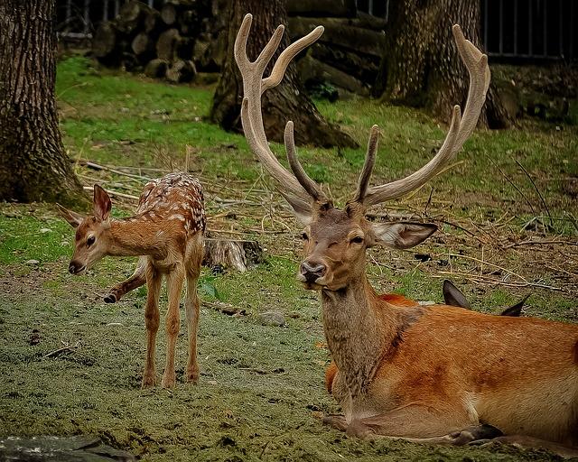 hjort dyr