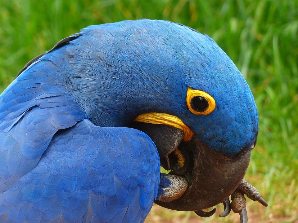 Kostenloses Foto: Papagei, Blauara, Hyazinth-Ara