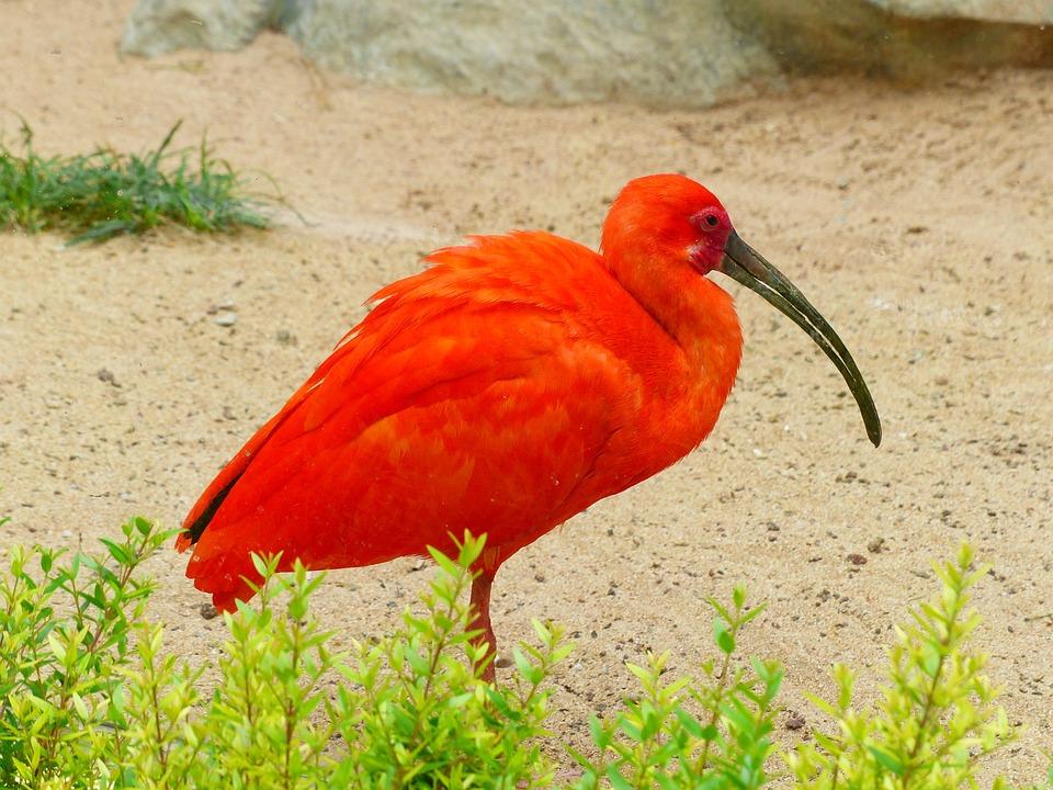 rode ibis vogel rood fel - gratis foto op pixabay