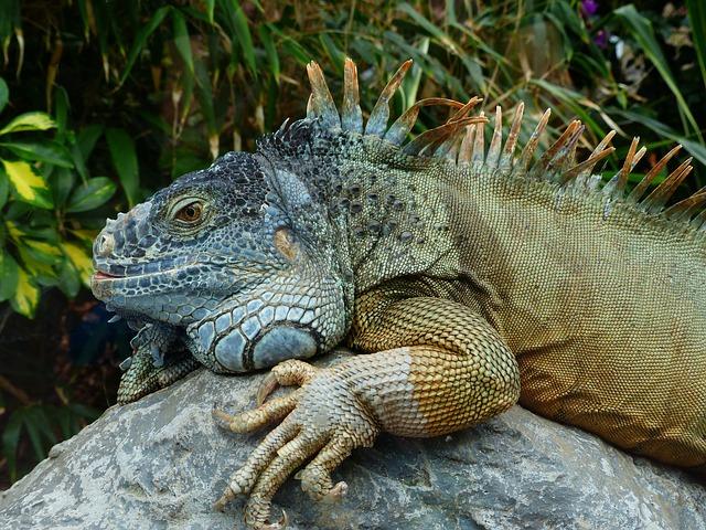 Green Iguana 183 Free Photo On Pixabay