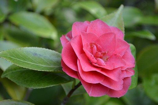 椿, 花, ブッシュ, ピンク, 観賞用低木, 自然, 庭, 開花, 植物