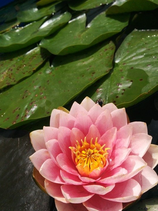 free photo water lily, lily pad, pond, lotus  free image on, Beautiful flower
