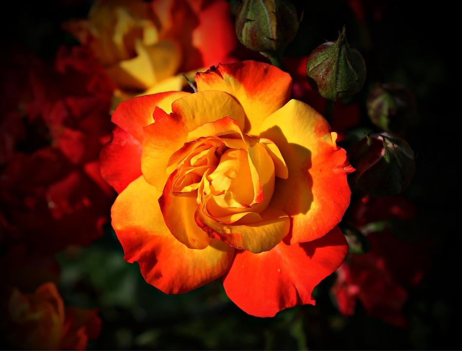 Жёлто-красные розы