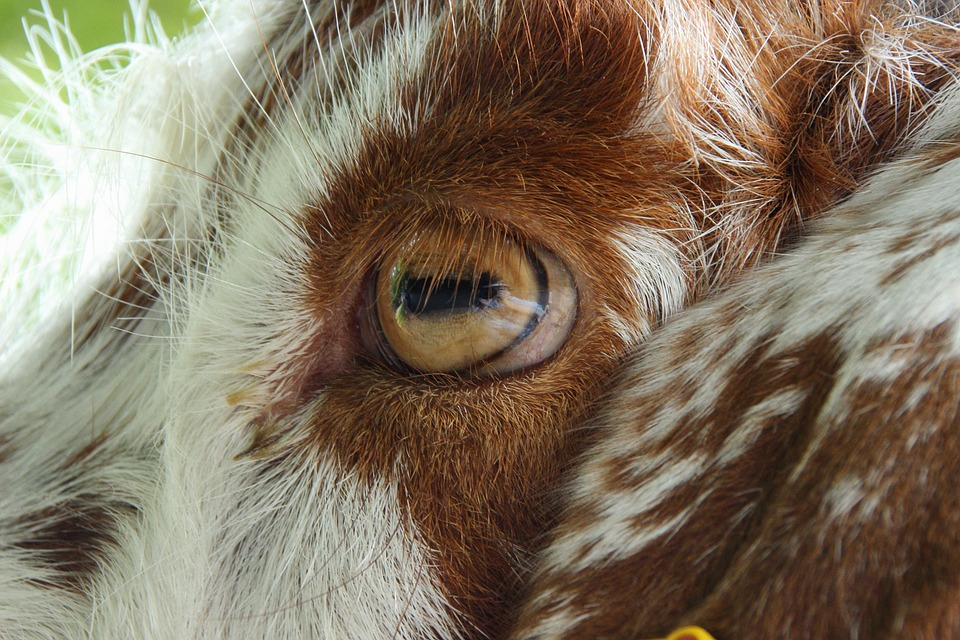 20 Crazy Goat Facts
