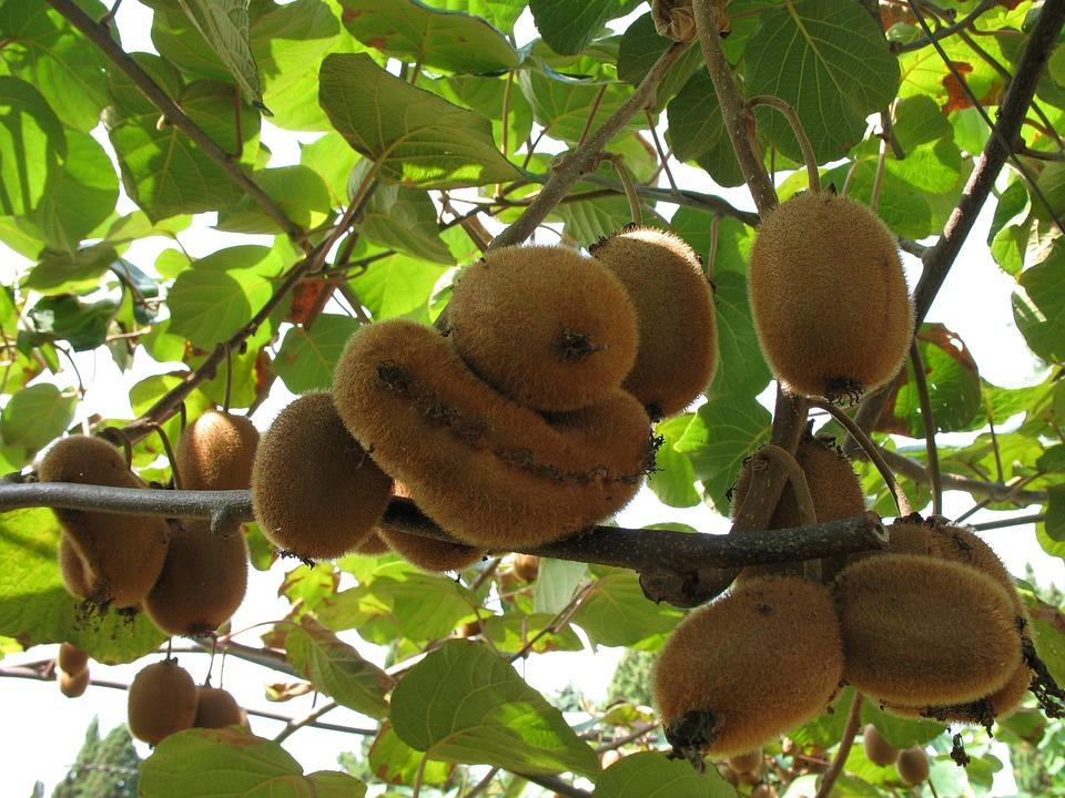Kiwi-Früchte Natur
