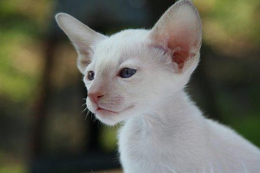 Siamese Cat, Cat, Kitten, Cat Baby, Fur