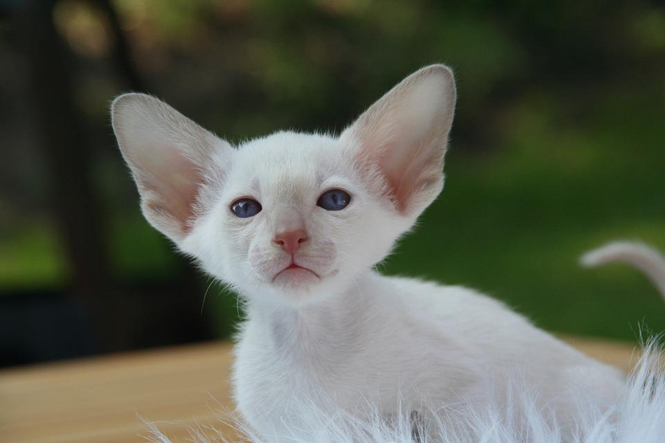 Cat chaton chat siamois b b photo gratuite sur pixabay - Photo de bebe chat ...