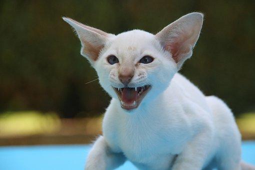 Siamese Cat, Hiss, Cat, Cat Baby, Scream