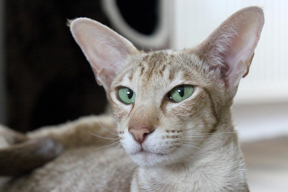 Cat, Brown, Ears, Listen To, Listen, Attention