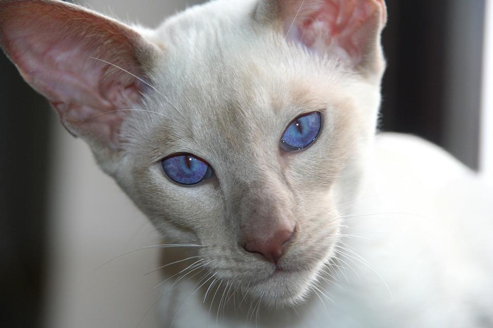 Gato, Gato Siamés, Blue Eye, Ojos, Azul, Blanco, Gatito