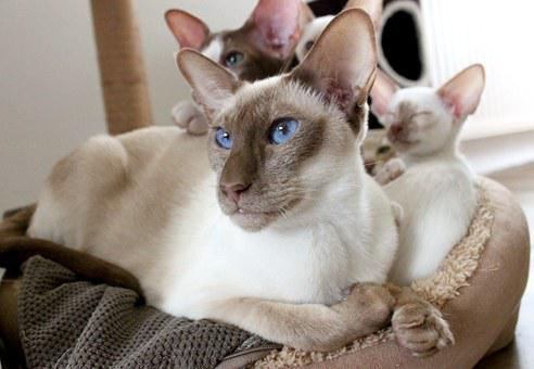 Family, Cat, Siamese Cat, Mother