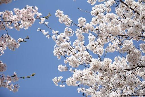 เชอร์รี่, ดอก, สีขาว, สาขา, บาน, ดอกไม้