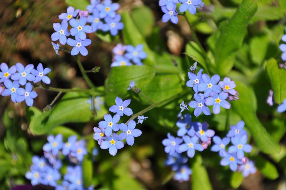 No Me Olvides Flores Azul Flor · Foto Gratis En Pixabay