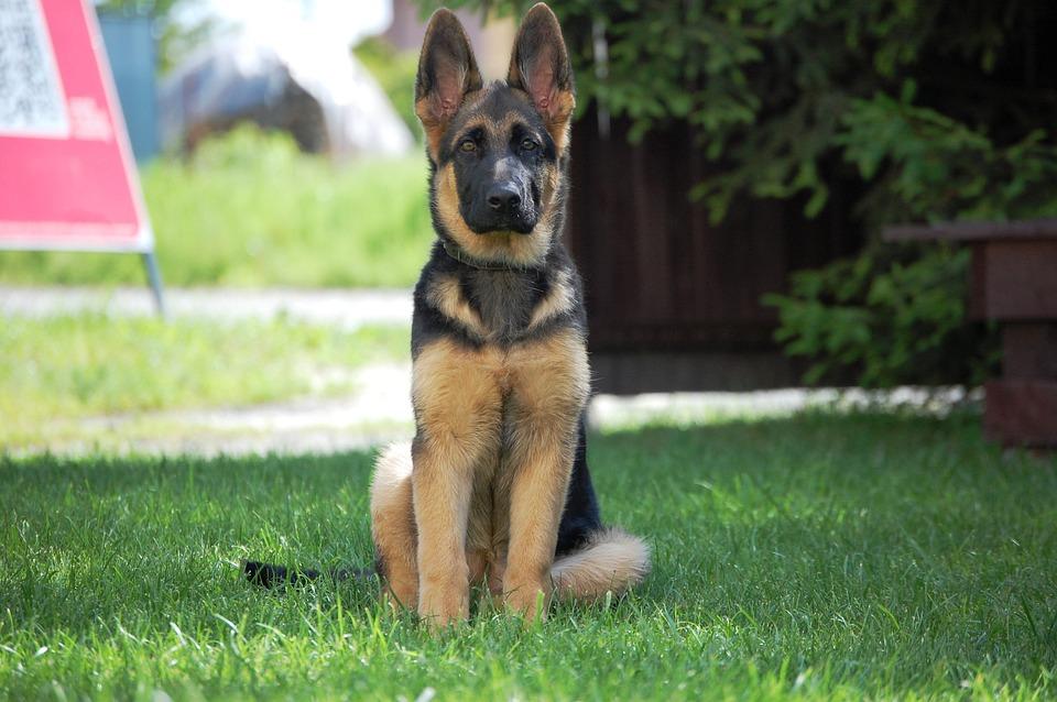 German Shepherd Dog - Free photo on Pixabay