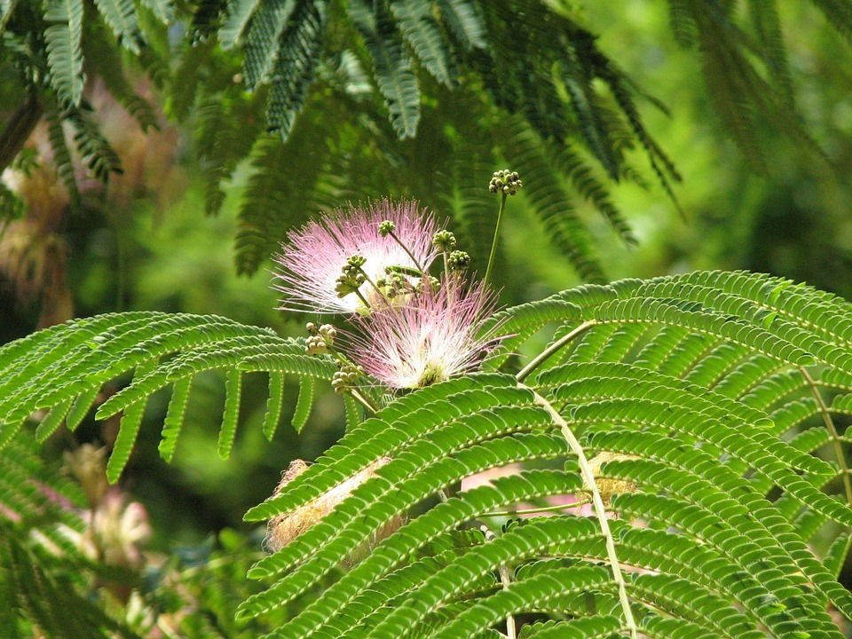 ミモザ, シダ, 花, 春, 植物, 葉, 自然