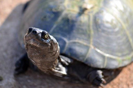 Terrapin, Turtle, Zurtoise, Wildlife
