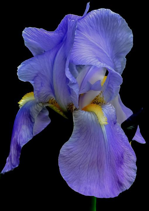 free photo iris, flower, blue, summer, floral  free image on, Natural flower