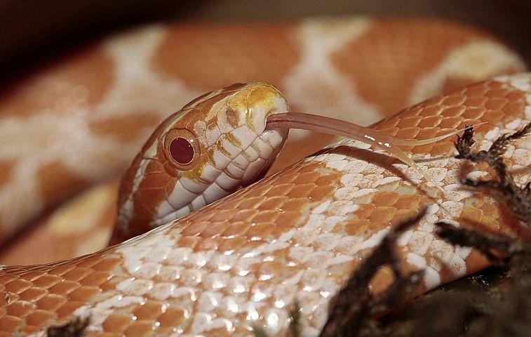 Corn snakes as pet