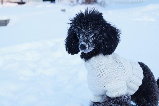 Dog, Poodle, Snow, Sweater, Pet, Animal