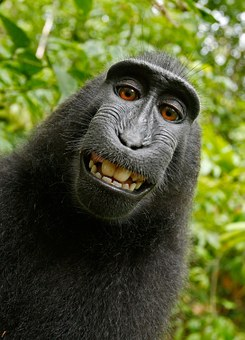 Selfie Monkey Self Portrait Macaca Nigra C