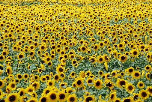Sunflowers, Flowers, Field, Yellow
