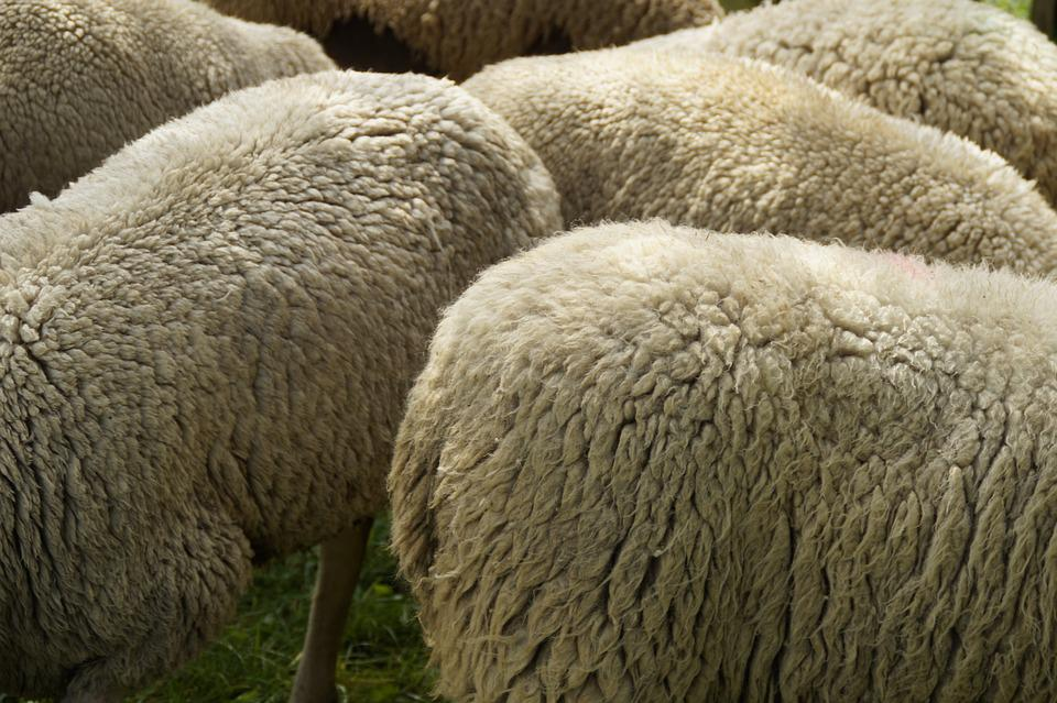 Free Photo Sheep Breeding Wool Fur Free Image On Interiors Inside Ideas Interiors design about Everything [magnanprojects.com]