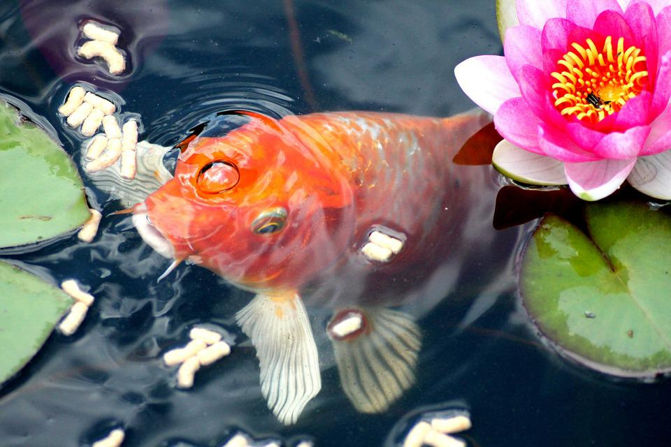Free photo goldfish feeding fish water lily free for Best goldfish for outdoor pond