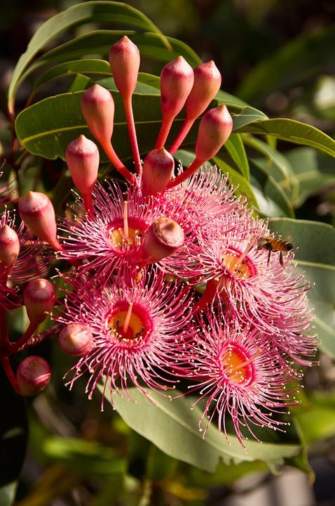Free Photo Eucalyptus Flowers Flowers Free Image On