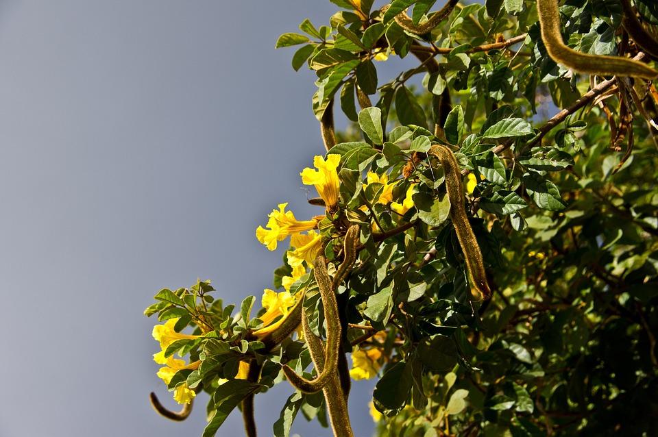 Albero Fiori Gialli.Baccelli Del Seme Fiore Fiori Foto Gratis Su Pixabay