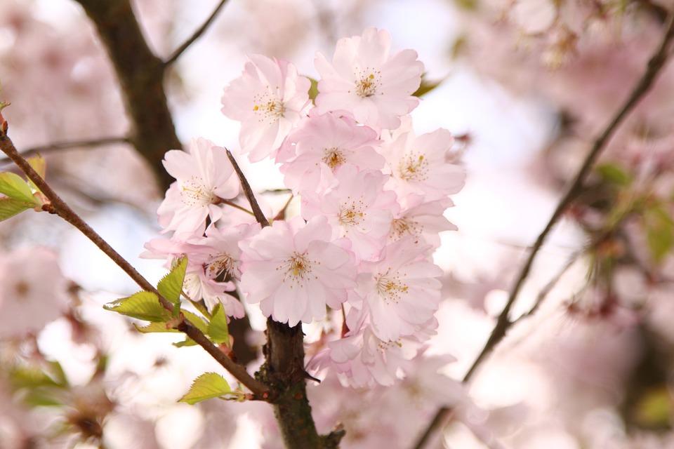 Koriste Kirsikka, Kukat, Pinkki, Puu, Kevät, Haara