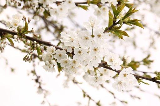 Pohon Sakura Gambar Pixabay Unduh Gambar Gambar Gratis